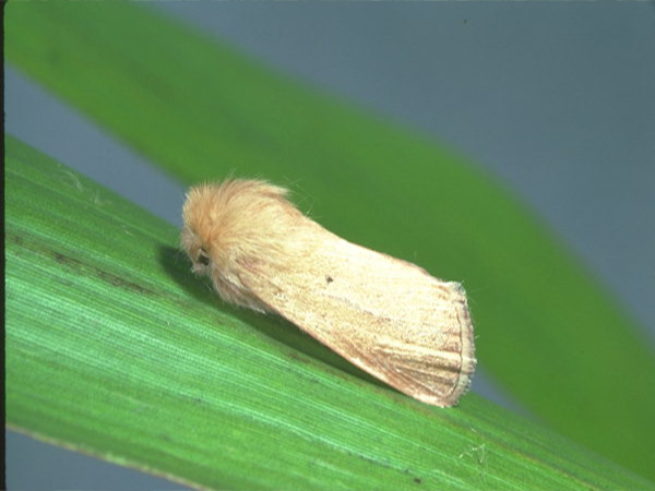 গমের মাজরা পোকা (Stem Borer of Wheat)