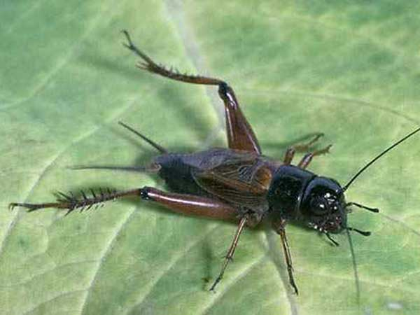 পাটের  উড়চুঙ্গা (Field Cricket)