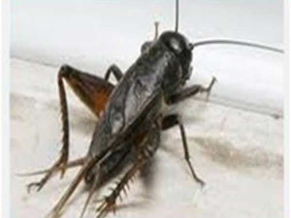 গমের উড়চুঙ্গা পোকা (Field Cricket of Wheat)